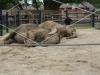 Indonézia - krotké slony