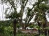 staré veľké stromy