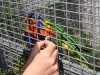 papagáje sa radi nechajú ľuďmi kŕmiť