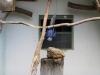 ara hyacintová