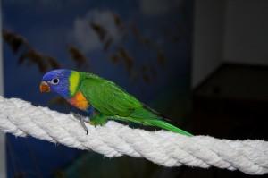 Lori mnohofarebný horský modrohlavý