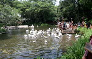 kŕmenie pelikánov