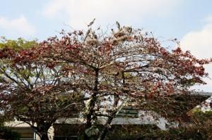 hniezdiace bociany na stromoch