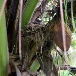 hniezdo za kokosom