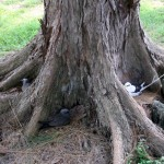 hniezda medzi koreňmi