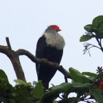 Bradavičiar pestrý (seychelles blue pigeon)