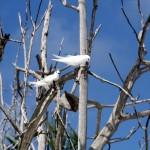 Gygis biely (gygis alba)