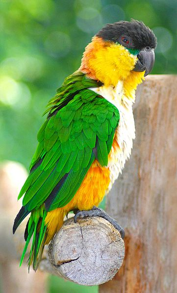 Amazonik čiernotemenný(Pionites melanocephalus)